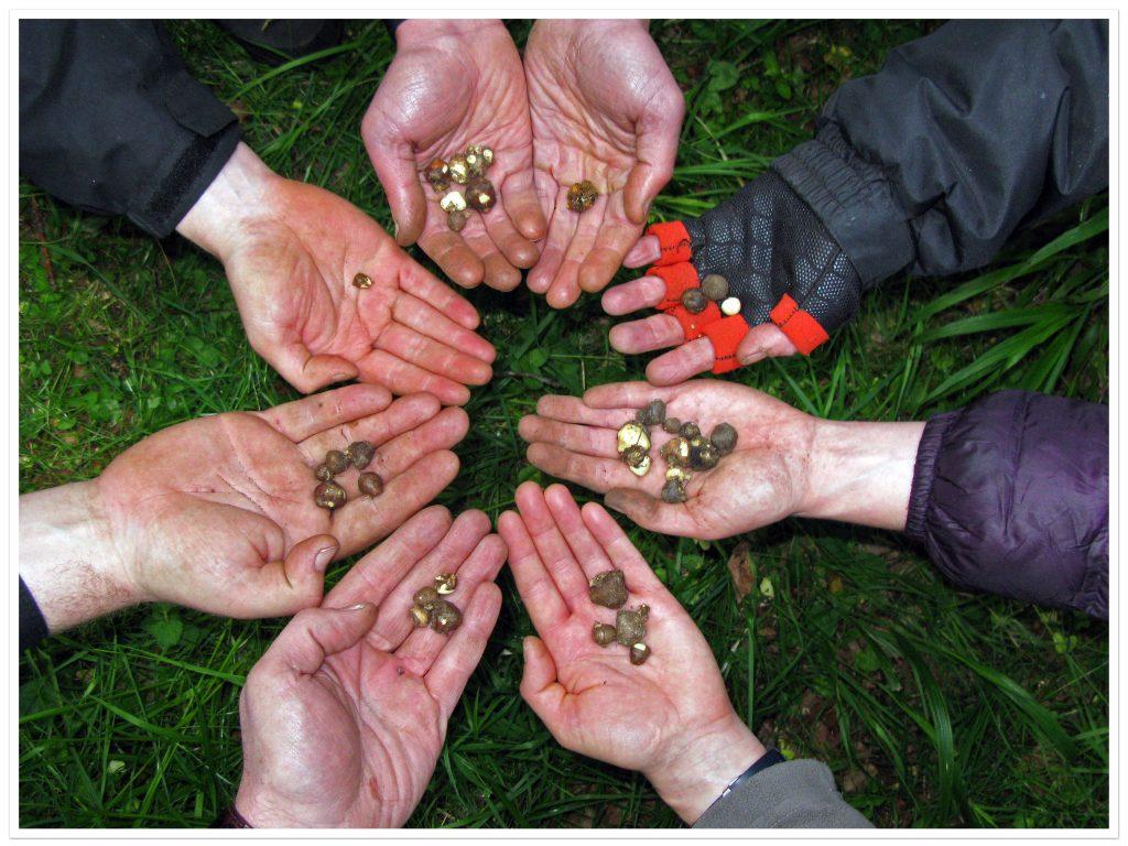 Pignut foraging