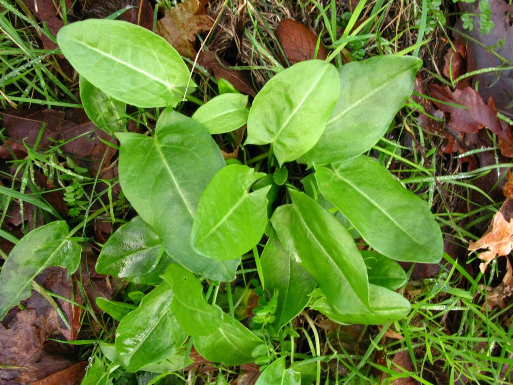 Common Sorrel (Rumex acestosa)